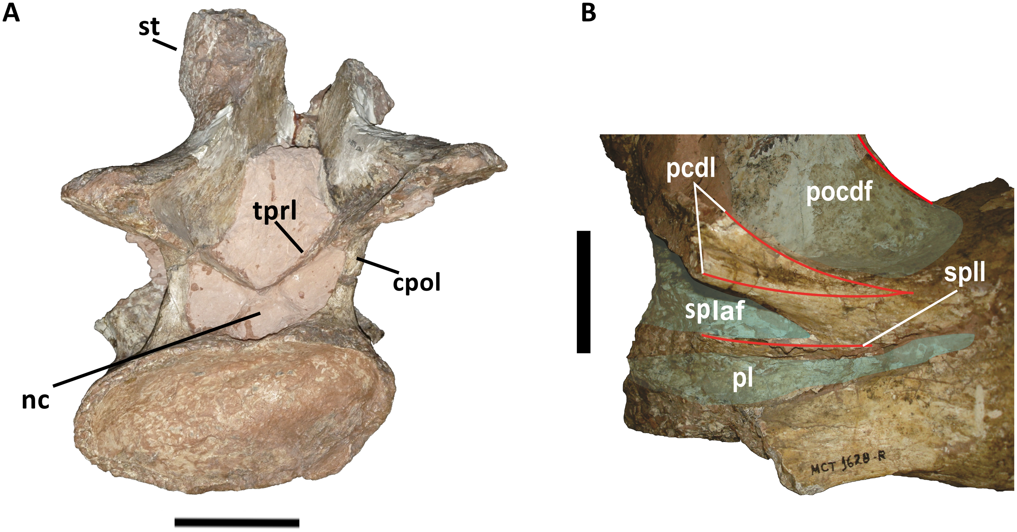 Hinterster Halswirbel des Titanosauriers Austrotitan magnificus. Bildquelle: Bandeira et al. 2016